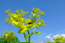 Free Bee In Flowers Royalty Free Stock Photo - 5175485