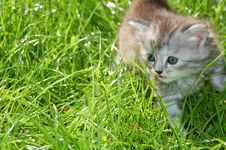 Striped Grey  Kitten In Grass Royalty Free Stock Photo