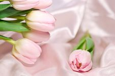 Free Fresh Tulips Royalty Free Stock Images - 5176239