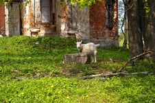 Free Goat At The Churchs Ruins Stock Photo - 5176250