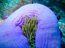 Free Anemone Royalty Free Stock Photo - 5176285