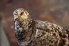 Free Majestic Pigeon Stock Image - 5176781