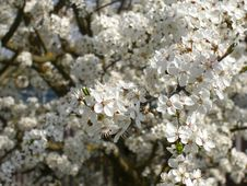 Free Cherry Plum Tree Blossoms Royalty Free Stock Photo - 5177155