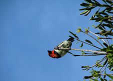 Black-collared Barbet Stock Photography