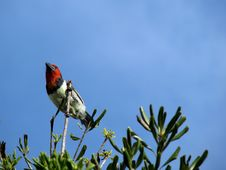 Black-collared Barbet In Tree Royalty Free Stock Photo