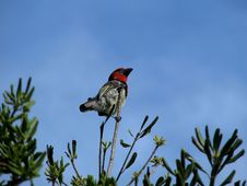Free Black-collared Barbet Perched On Branch Stock Image - 5177861