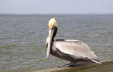 Free Pelican On Pier Stock Photo - 5177950