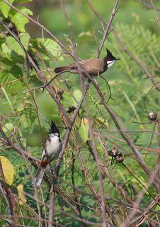 Free Pair Of Birds In Bush. 89-9 Jpg Stock Images - 5178474