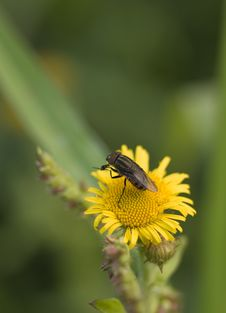 Little Fly On A Yellow Flower Royalty Free Stock Photos