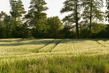 Corn Field And Wheat Crop Royalty Free Stock Photos