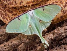 Free Luna Moth On Fungus Stock Images - 5179634