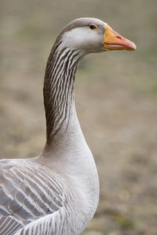 Portrait Of A Goose Stock Photo