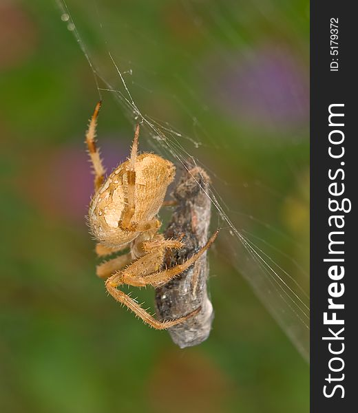 Closeup of a spider on it s web wrapping an insect