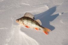 Freshwater Fish Perch Stock Photography
