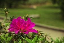 Free Colorful Azaleas Royalty Free Stock Photos - 51766028
