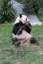 Free Giant Panda At Ocean Park In Hong Kong Stock Images - 51787234