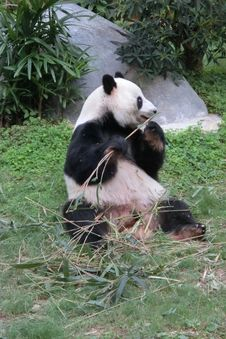 Free Giant Panda At Ocean Park In Hong Kong Stock Images - 51787234