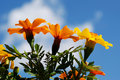 Free Marigolds Below Stock Photography - 5182622