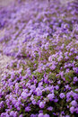 Free Flowerbed Of Purple Flowers Stock Image - 5185351