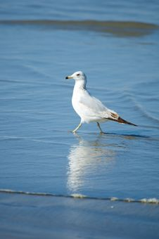 Free Gull On The Beach Royalty Free Stock Photos - 5180388