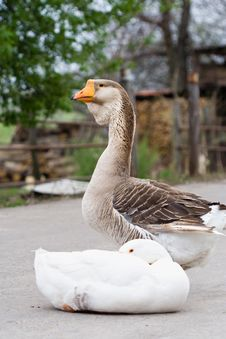 Free Two Gooses Stock Image - 5180671