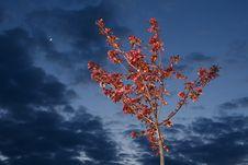 Paradisaical Apple-tree Royalty Free Stock Photo
