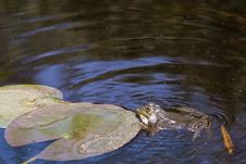 Free Frog Swimming Royalty Free Stock Photography - 5181807