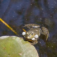 Free Frog Swimming Stock Images - 5181814