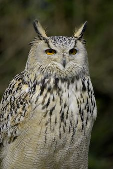 Free Eagle Owl Stock Photography - 5182202