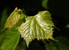 Free Grape Leaves Royalty Free Stock Images - 5182619