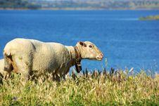 Free Sheep Graze . Royalty Free Stock Image - 5182636