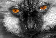 Free Lemur Stock Photo - 5182710