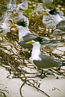 Free Terns Royalty Free Stock Images - 5184459
