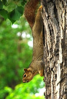 Squirrel Hanging Around Stock Photos