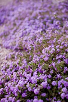 Free Flowerbed Of Purple Flowers Stock Image - 5185351