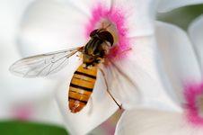 Free Bee & Flower Stock Photos - 5185423