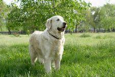 Dog On Walk Royalty Free Stock Photo
