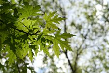 Free Maple Foliage Stock Photos - 5186903
