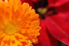 Free Orange Chrysanthemum Stock Image - 5187441