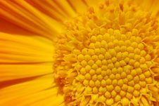 Free Orange Chrysanthemum Stock Photos - 5187553