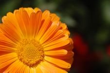 Free Orange Chrysanthemum Royalty Free Stock Image - 5187576