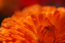 Free Orange Chrysanthemum Stock Photo - 5187740