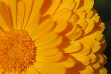 Free Orange Chrysanthemum Royalty Free Stock Photos - 5187818