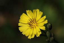 Yellow Thistle Royalty Free Stock Photography