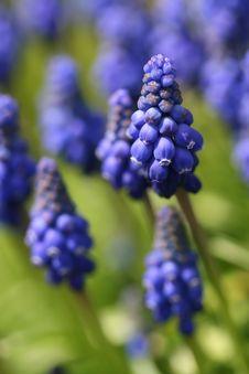 Free Grape Hyacinth Royalty Free Stock Photos - 5188148
