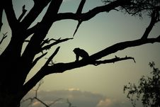 Free Leopard Sat In A Tree Royalty Free Stock Photos - 5188268