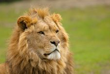 African Male Lion Stock Images