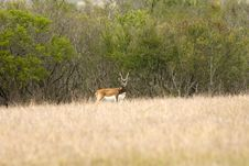Free African Black Buck Antelope Stock Images - 5188574