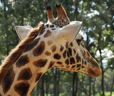 Free Giraffe Portrait Stock Image - 5188621