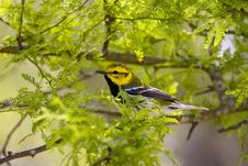 Free Black-throated Green Warbler Royalty Free Stock Image - 5188646